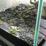水草をコケなしで育てたくて、ミスト式で水草水槽を立ち上げ!(ニューラージパールグラスとウィローモス)