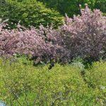 ブルーベリーの花&桜の花が満開です ブルーベリーの丘くりはら
