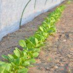札幌で市民農園・家庭菜園仲間募集 2019年
